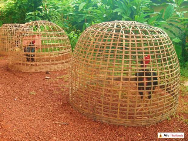 Cage permettant de garder les coqs