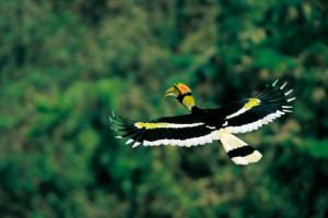 Un Hornbill Buceros Bicornis à Khao Yai