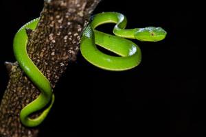 Vipère verte de Thaïlande
