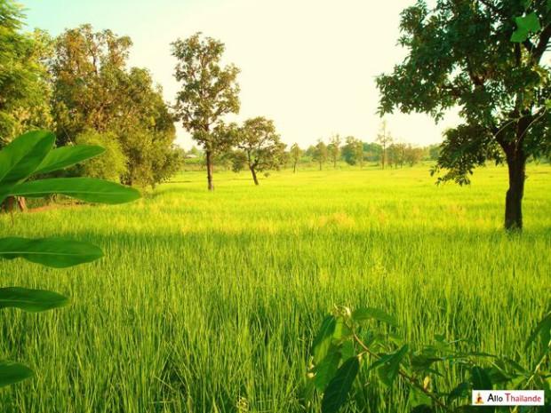 Champ de rizières en Isan